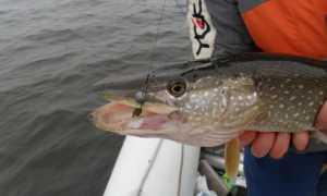 Как выбрать или сделать самому рыболовные поводки на хищника